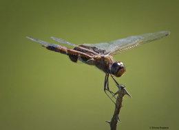 Female Carolina Saddlebags dragonfly