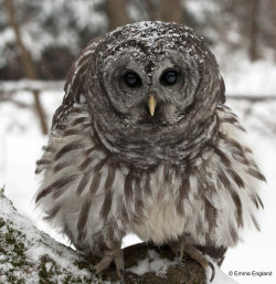 Fluffy Barred Owl