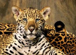 Jaguar cub portrait