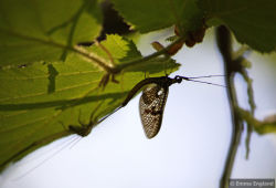 Mayfly silhouette