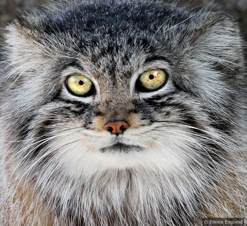 Pallas Cat portrait