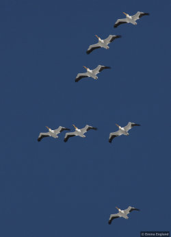 Flight of the pelicans
