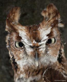 Snowy Screech Owl