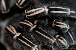 Costa Rican Zebra Stripe Knee