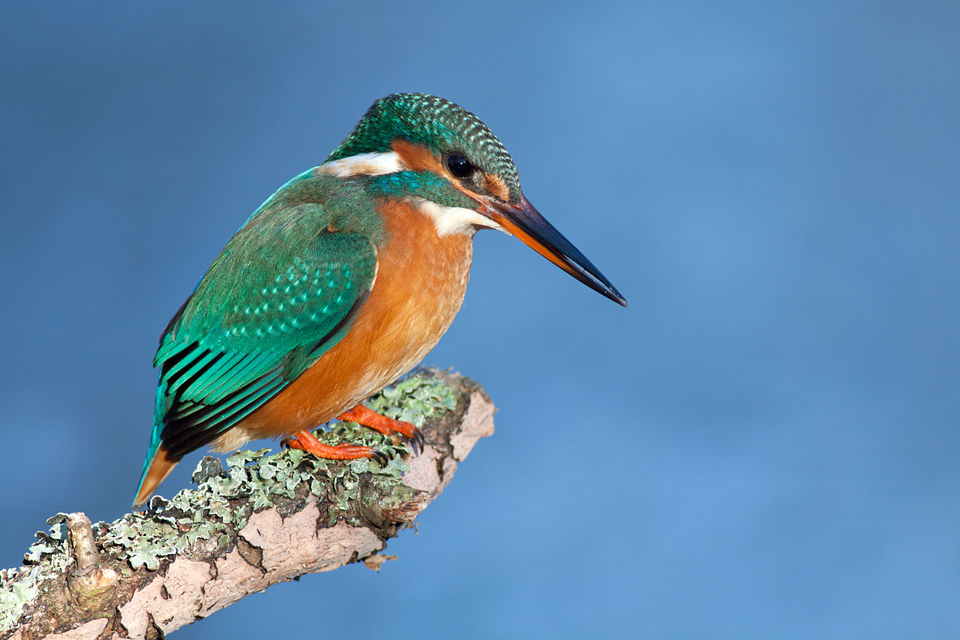 Traditional kingfisher pose. Canon 50D, Canon EF 400mm f/5.6 L USM, 1/160, f/5.6, iso 200, tripod.