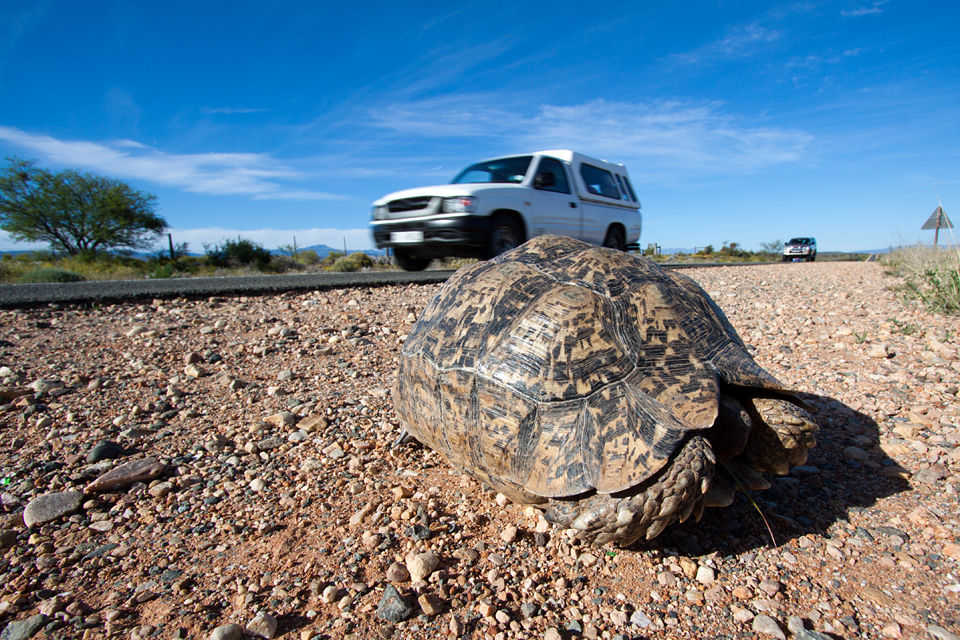 A tortoise in the Little Karoo. Canon 50D, Canon EF-S 10-22mm f/3.5-4.5 USM, 1/250, f/10, iso 100, handhold.