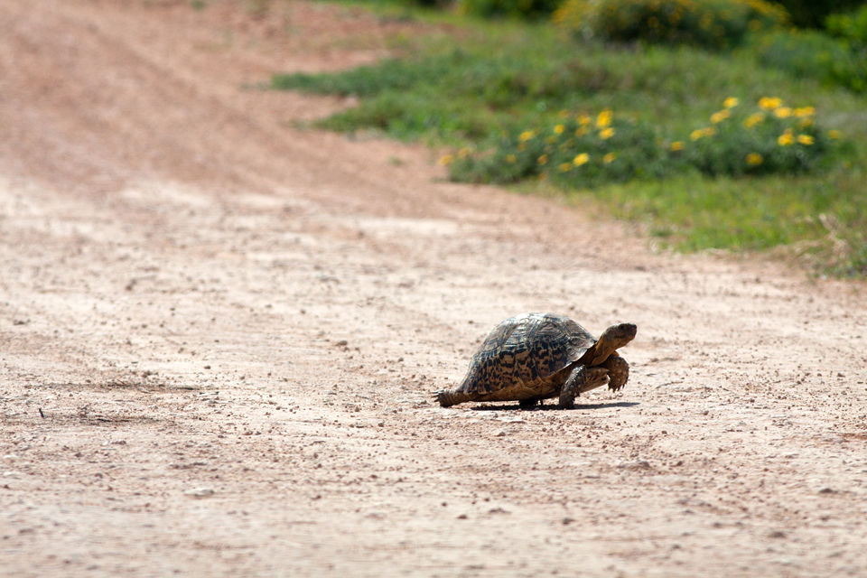 This leopard tortoise (Stigmochelys pardalis) is definitely not winning the race. Canon 50D, Canon EF 400mm f/5.6 L USM, 1/500, f/8, iso 125, handhold from car.