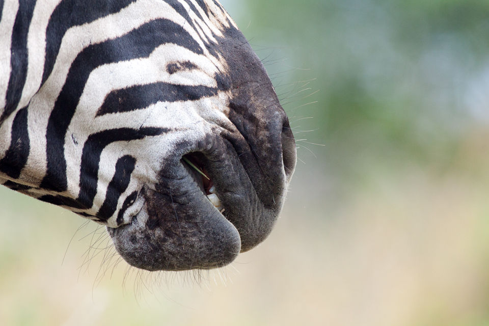 A plains zebra (Equus quagga) crunching away at some tasty grass. Canon 50D, Canon EF 400mm f/5.6 L USM, 1/500, f/8, iso 800, handhold from car.