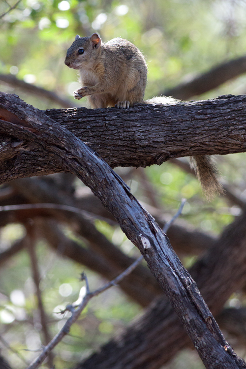 A tree squirrel (unknown species). Canon 50D, Canon EF 400mm f/5.6 L USM, 1/500, f/8, iso 1250, handhold.