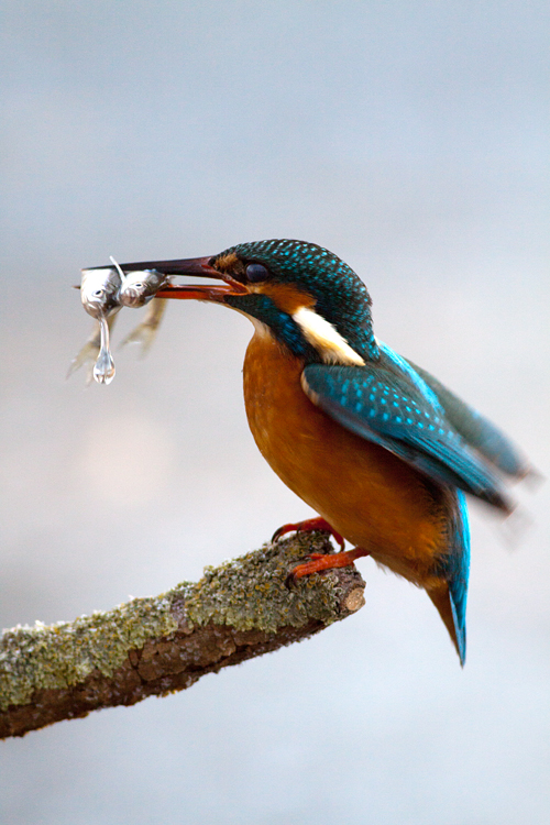 A kingfisher having caught two moderlieschen. Canon 50D, Canon EF 400mm f/5.6 L USM, 1/320, f/5.6, iso 400, tripod.