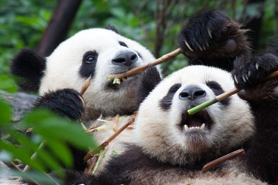 Two (captive) panda's (Ailuropoda melanoleuca) enjoying breakfast. Canon 50D, Canon EF 400mm f/5.6 L USM, 1/500, f/8, iso 1250, handhold.