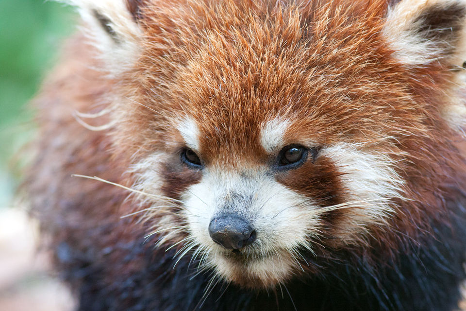 A somewhat crumpled (captive) red panda (Ailurus fulgens). Canon 50D, Canon EF 400mm f/5.6 L USM, 1/200, f/5.6, iso 1600, handhold.