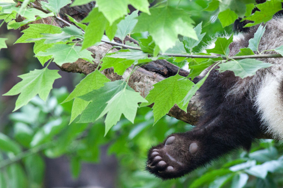 A (captive) young panda (Ailuropoda melanoleuca) it's 'thumb'. Canon 50D, Canon EF 400mm f/5.6 L USM, 1/400, f/7.1, iso 1600, handhold.