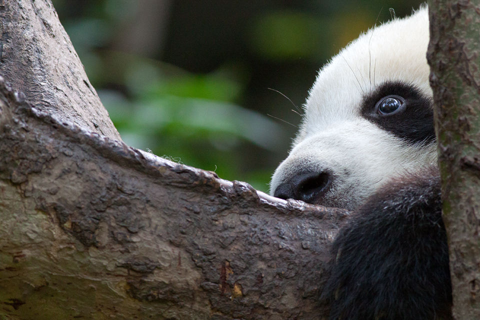 A (captive) young panda (Ailuropoda melanoleuca) holding on for dear life. Canon 50D, Canon EF 400mm f/5.6 L USM, 1/500, f/8, iso 1250, handhold.