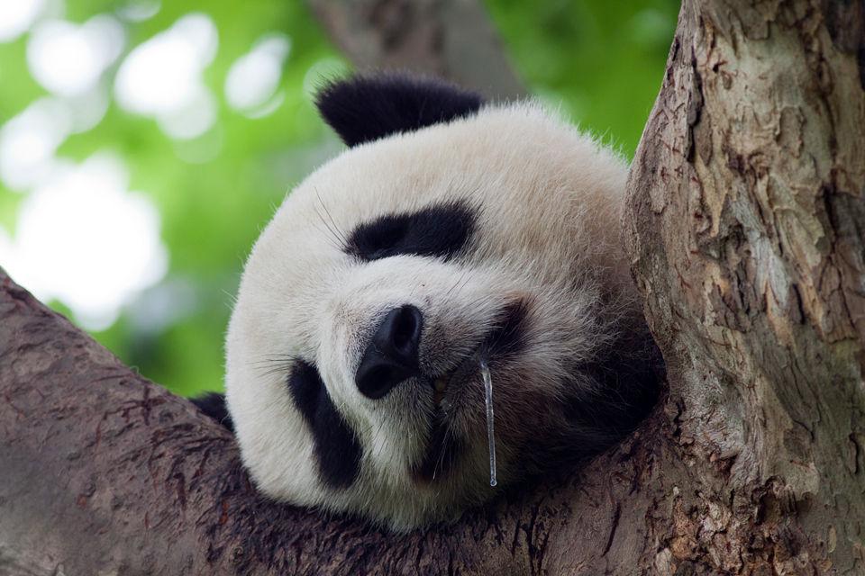 A drooling (captive) panda (Ailuropoda melanoleuca). Canon 50D, Canon EF 400mm f/5.6 L USM, 1/250, f/5.6, iso 320, handhold.