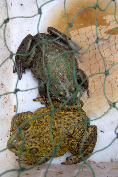 Two edible Chinese Edible Frog (Hoplobatrachus rugulosus) awaiting an buyer. Canon Powershot S100, 1/40, f/4, iso 80, handheld.