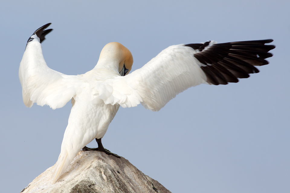 A displaying Northern Gannet (Morus bassanus). Canon 50D, Canon EF 400mm f/5.6 L USM, 1/640, f/8, iso 125, handheld.