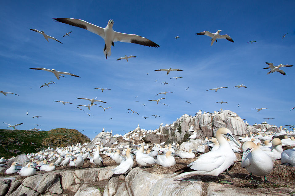 Northern Gannets on the wind. Canon 50D, Canon EF-S 10-22mm f/3.5-4.5 USM, 1/320, f/11, iso 100, handheld.