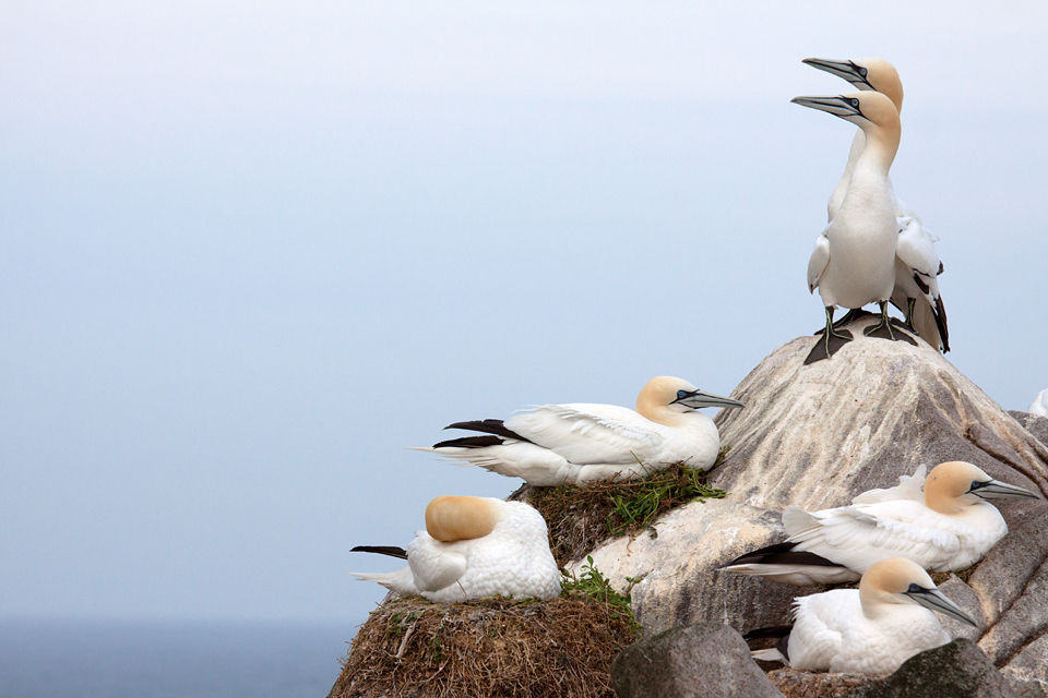 A pair of Gannets overlooking the colony. Canon 50D, Canon EF 70-200mm f/4.0 L USM, 1/640, f/7.1, iso 320, handheld.