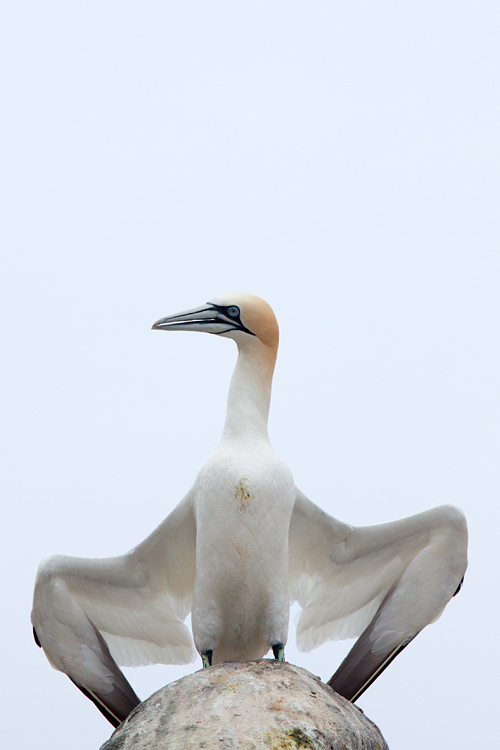 A Gannet in the middle of a display. Canon 50D, Canon EF 70-200mm f/4.0 L USM, 1/800, f/7.1, iso 320, handheld.