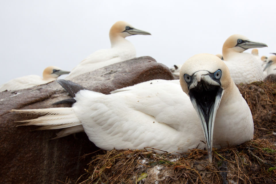 Territorial response of a Northern Gannet (Morus bassanus). Canon 50D, Canon EF-S 10-22mm f/3.5-4.5 USM, 1/100, f/8, iso 200, remote camera.