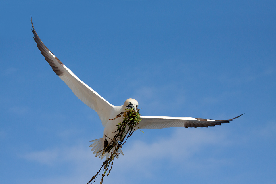 A Northern Gannet (Morus bassanus) with nesting material. Canon 50D, Canon EF 70-200mm f/4.0 L USM, 1/2000, f/6.3, iso 320, handheld.