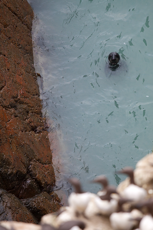 A grey seal (Halichoerus grypus) with Common Murres (Uria aalge) in the foreground. Canon 50D, Canon EF 70-200mm f/4.0 L USM, 1/250, f/4, iso 250, handheld.