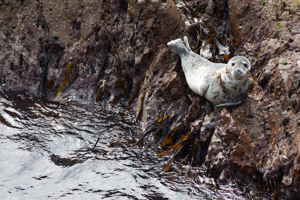 A grey seal (Halichoerus grypus) with wound around it's neck. Canon 50D, Canon EF 400mm f/5.6 L USM, 1/250, f/5.6, iso 100, handheld.