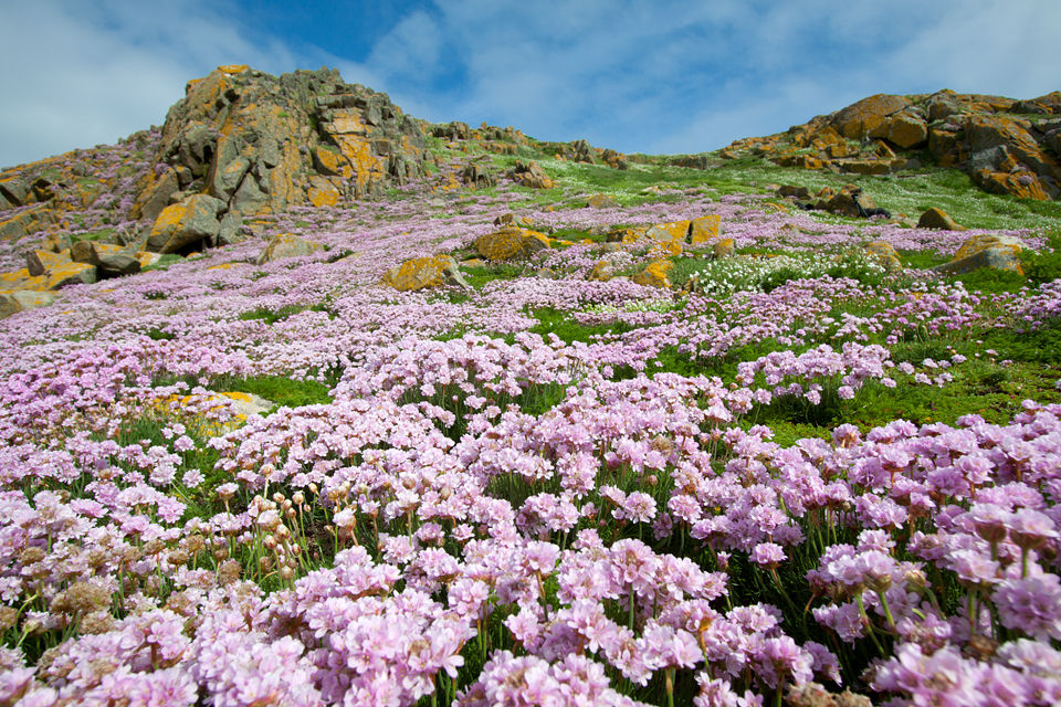 A sea cliff filled with thrift (Armeria maritima). Canon 50D, Canon EF-S 10-22mm f/3.5-4.5 USM, 1/250, f/10, iso 100, handheld.