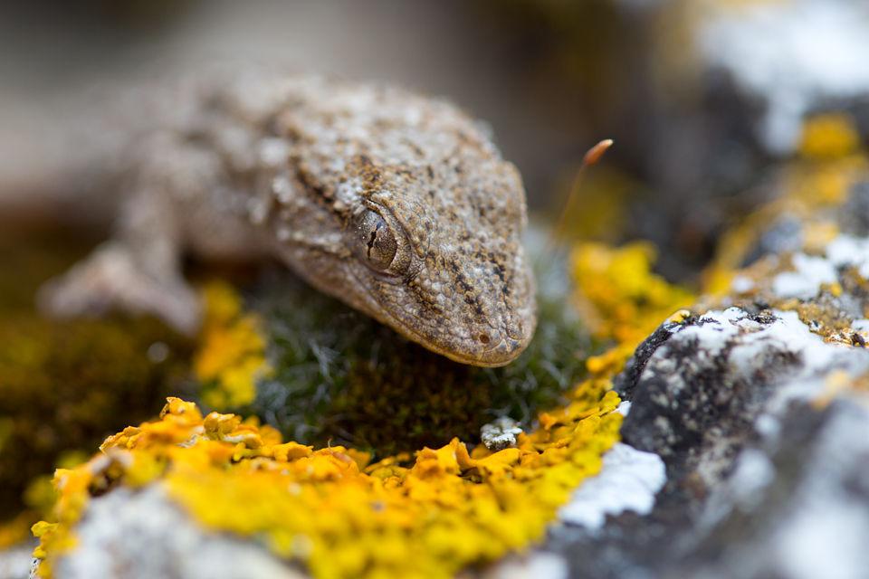 A Moorish Wall Gecko (Tarentola mauritanica). Canon 5D MKIII, Canon EF 100mm f/2.8 USM Macro, 1/125, f/3.5, iso 320, handheld.