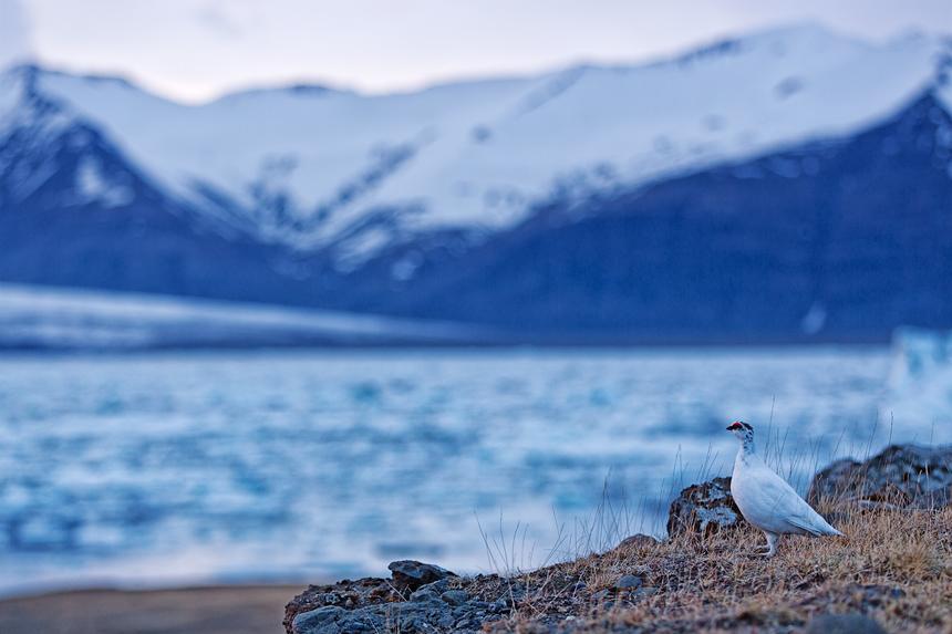 A male rock ptarmigan (Lagopus muta) in front of the Jökulsárlón glacial lake.