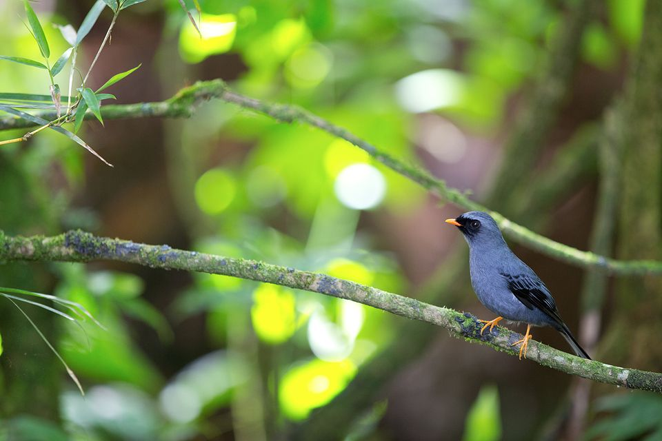 An adult black-faced solitaire (Myadestes melanops). Canon 5D Mark III, Canon EF 70-200mm f/2.8L IS II USM, 1/160, f/2.8, iso 1000, handheld.