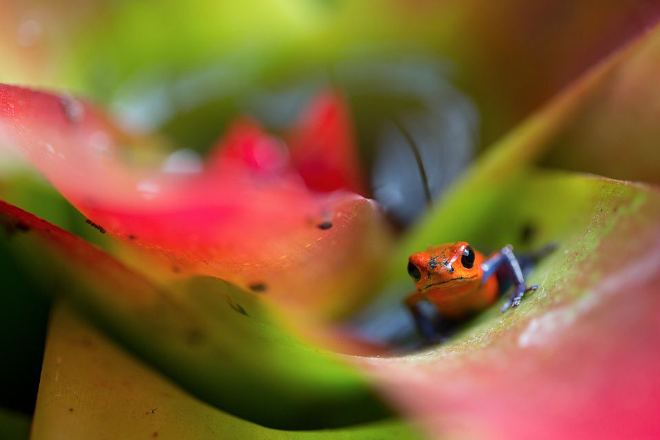 """A """"blue jeans"""" color morph (Oophaga pumilio) in a bromelia. Canon 5D MKIII, Canon EF 100mm f/2.8 USM Macro, 1/500, f/2.8, iso 1000, handheld."""
