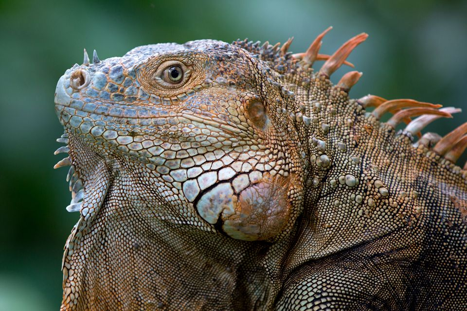 A male green iguana (Iguana iguana). Canon 5D Mark III, Canon EF 400mm f/5.6 L USM, 1/160, f/2.8, iso 250, handheld.