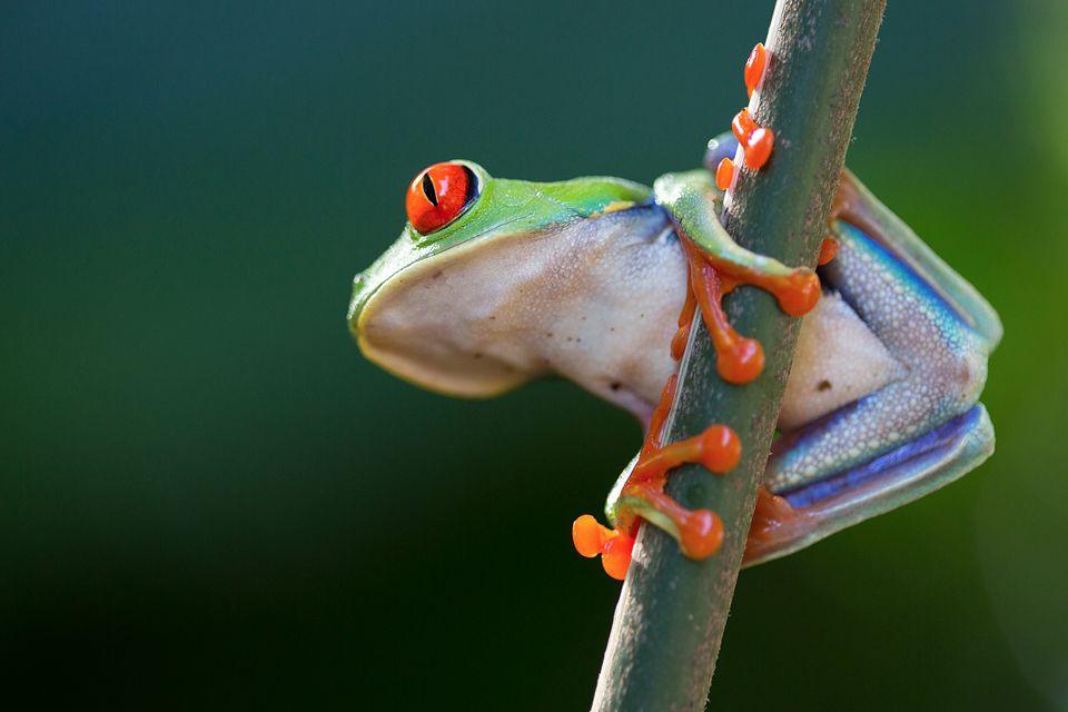 Gorgeous red-eyed leaf frog (Agalychnis callidryas). Canon 5D MKIII, Canon EF 100mm f/2.8 USM Macro, 1/80, f/2.8, iso 500, handheld.
