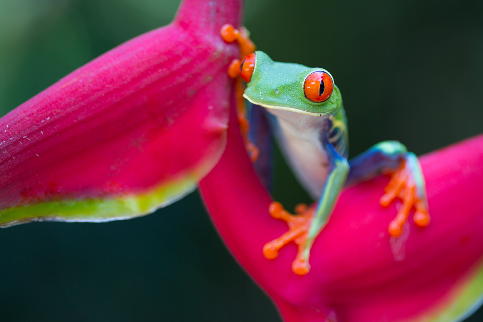 A cheeky red-eyed leaf frog (Agalychnis callidryas) on Heliconia. Canon 5D MKIII, Canon EF 100mm f/2.8 USM Macro, 1/100, f/2.8, iso 200, handheld.