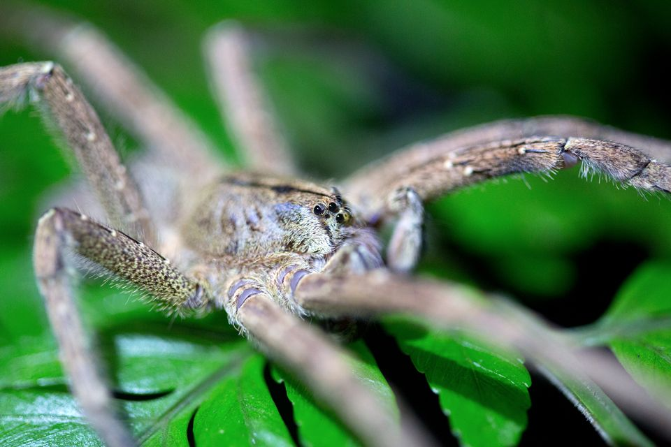 Detail of a wolf spider sp.? Canon 5D MKIII, Canon EF 100mm f/2.8 USM Macro, 1/100, f/2.8, iso 3200, tripod, flashlight.