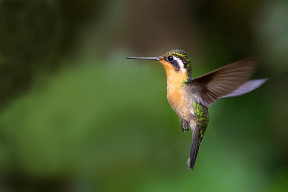 A female purple-throated mountain-gem (Lampornis calolaema) at a feeder. Canon 5D Mark III, Canon EF 70-200mm f/2.8L IS II USM, 1/1000, f/2.8, iso 3200, handheld.