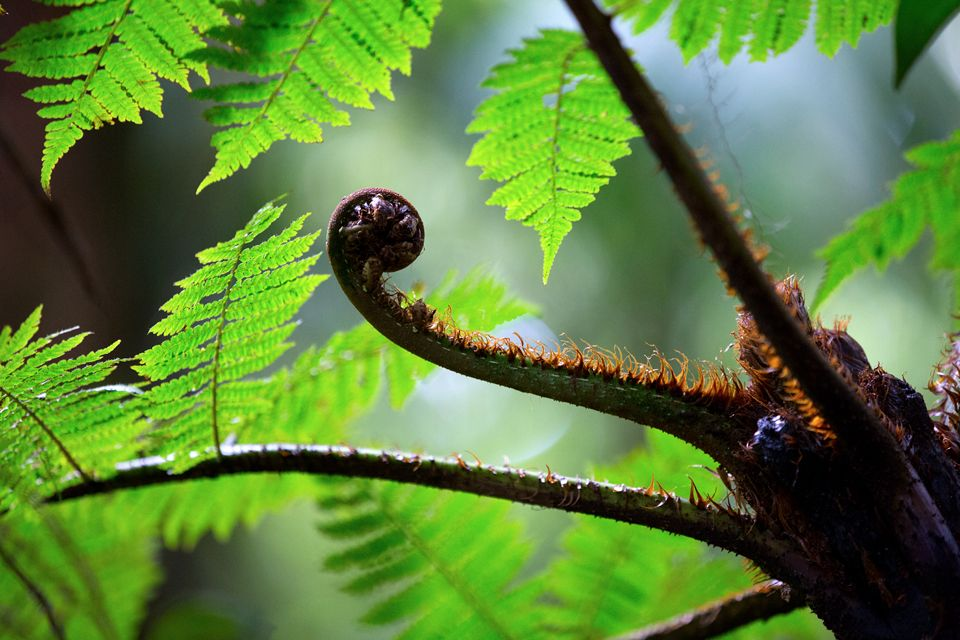 Detail of a tree fern in the cloud forest. Canon 5D Mark III, Canon EF 70-200mm f/2.8L IS II USM, 1/160, f/2.8, iso 2500, tripod.