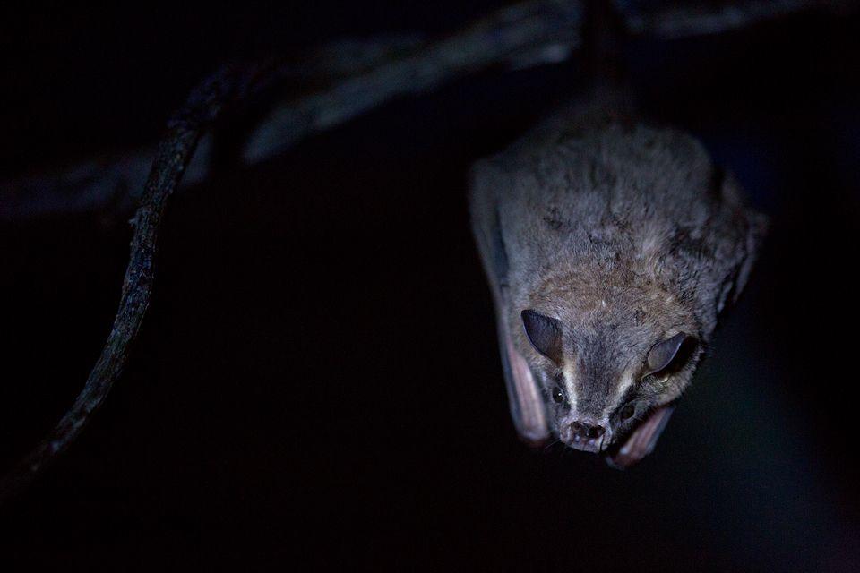 A toltec fruit-eating bat (Artibeus toltecus). Canon 5D MKIII, Canon EF 100mm f/2.8 USM Macro, 1/160, f/2.8, iso 3200, handheld, flashlight.