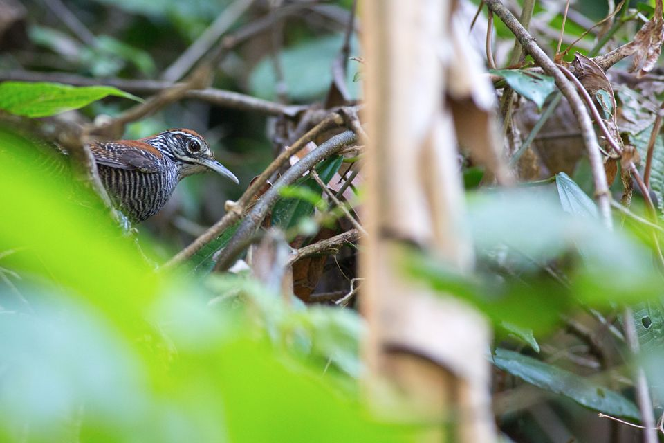 Getting a glimpse of a riverside wren (Cantorchilus semibadius). Canon 5D Mark III, Canon EF 400mm f/5.6 L USM, 1/200, f/5.6, iso 3200, handheld.