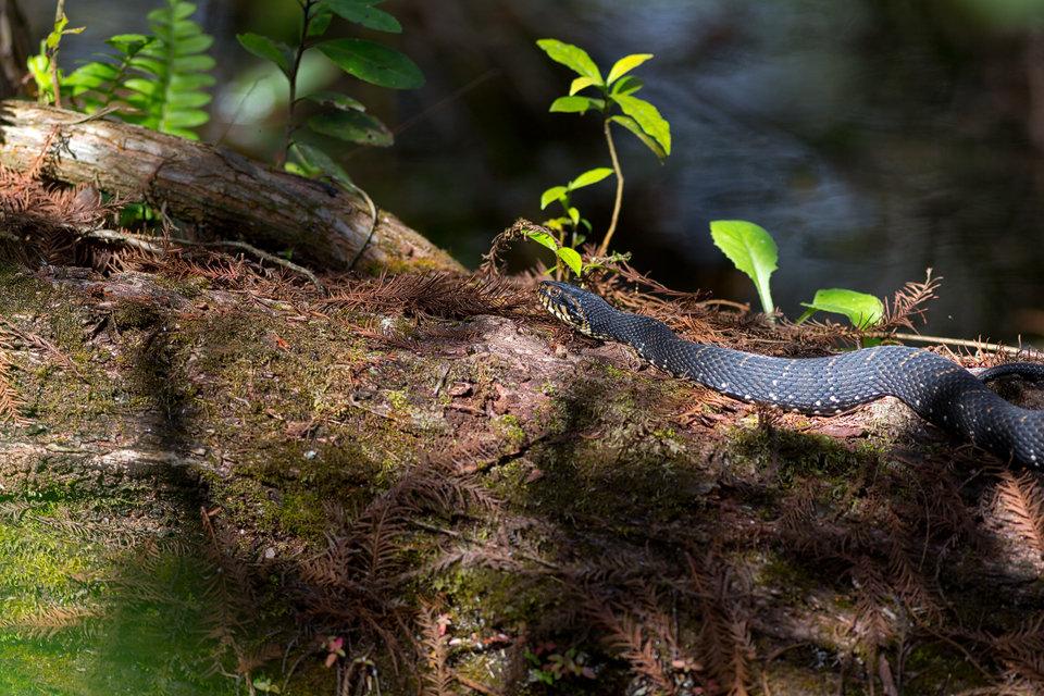 A basking Florida banded water snake (Nerodia fasciata pictiventris). Canon 5D Mark III, Canon EF 400mm f/5.6 L USM, 1/320, f/5.6, iso 250, handheld.