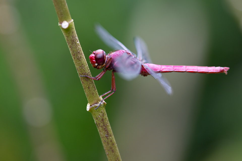 A red-faced Dragonlet (Erythrodiplax fusca)? Canon 5D MKIII, Canon EF 100mm f/2.8 USM Macro, 1/30, f/7.1, iso 100, handheld.