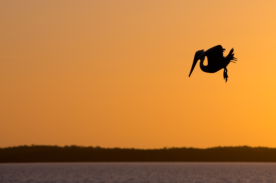 Silhouette of a brown pelican (Pelecanus occidentalis) before plunging into the water. Canon 5D Mark III, Canon EF 70-200mm f/2.8L IS II USM, 1/800, f/6.3, iso 100, handheld.