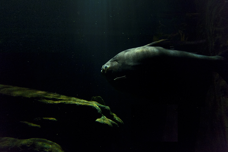 A massive pacu (Colossoma macropomum) in Artis it's flooded Amazon forest aquarium.