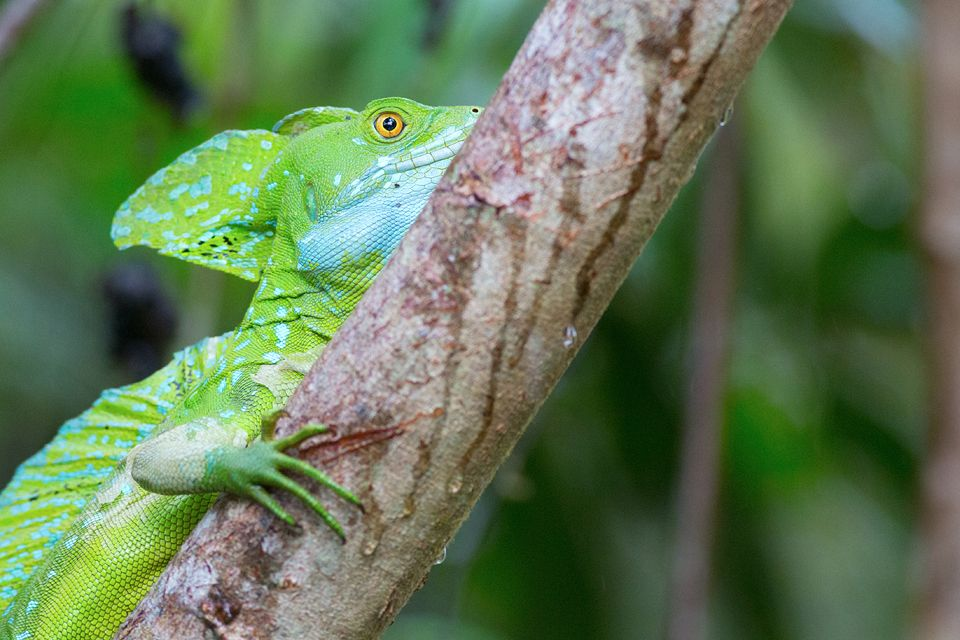 Bright green Jesus Christ lizard (Basiliscus plumifrons). Canon 5D Mark III, Canon EF 400mm f/5.6 L USM, 1/200, f/5.6, iso 3200, handheld from boat.