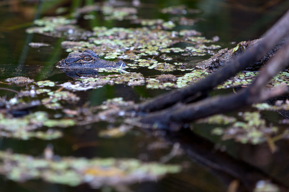A young American alligator (Alligator mississippiensis). Canon 5D Mark III, Canon EF 70-200mm f/2.8L IS II USM, 1/200, f/2.8, iso 400, handheld.