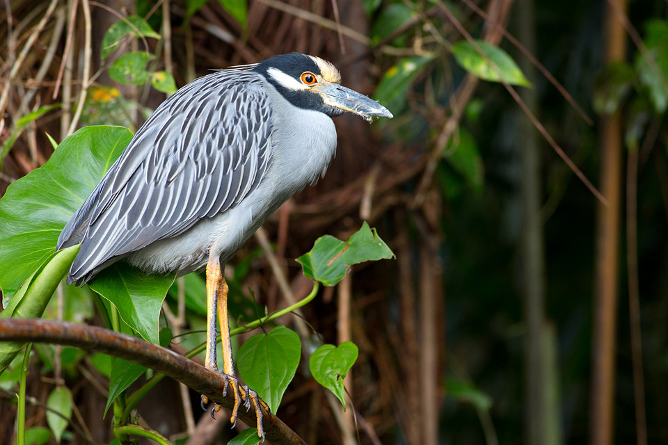 A yellow-crowned night heron (Nyctanassa violacea). Canon 5D Mark III, Canon EF 400mm f/5.6 L USM, 1/320, f/5.6, iso 1250, handheld from boat.