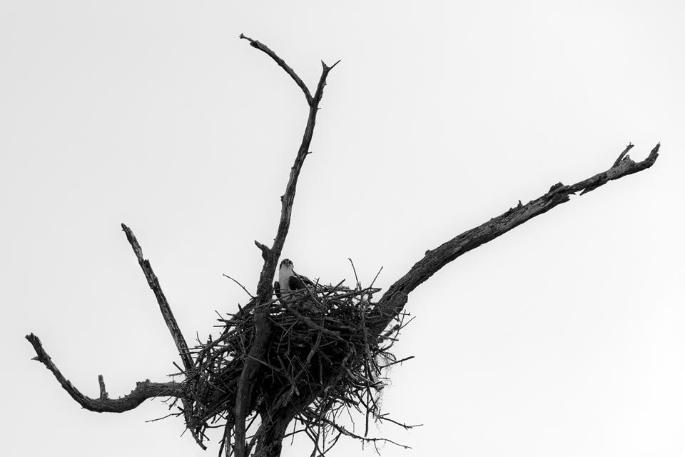 B&W osprey (Pandion haliaetus) on its nest. Canon 5D Mark III, Canon EF 70-200mm f/2.8L IS II USM, 1/1000, f/7.1, iso 100, handheld.