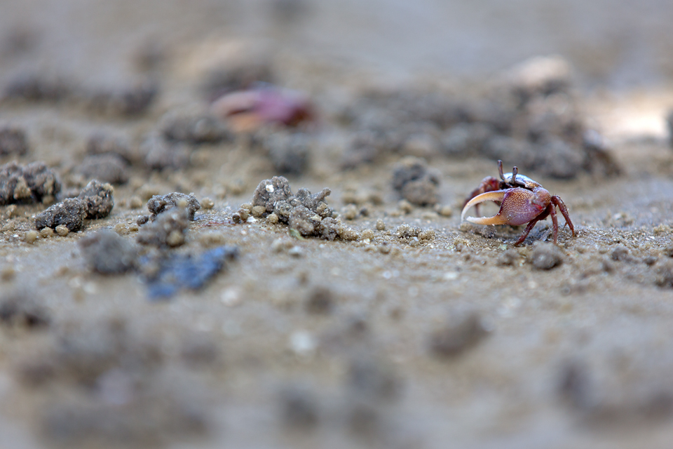 Fiddler crab sp.? Canon 5D Mark III, Canon EF 70-200mm f/2.8L IS II USM, 1/250, f/3.5, iso 100, handheld.